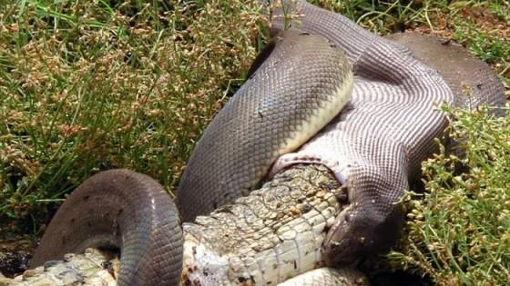 snake eating croc