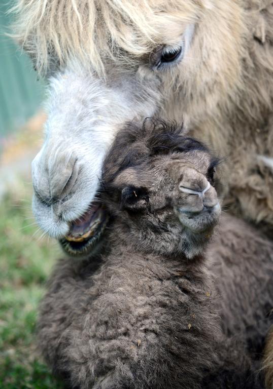 rare baby camel